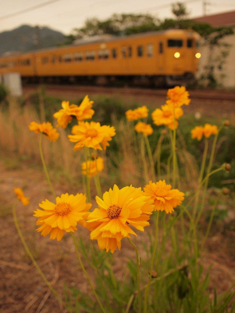 黄色い花と黄色い電車