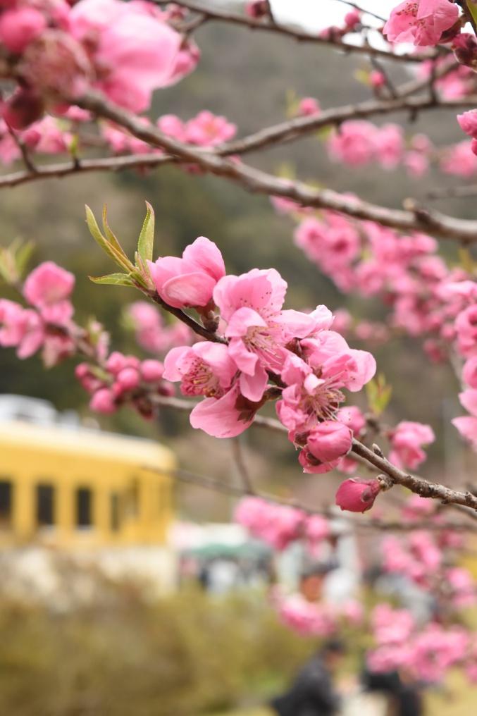 桃の花とキハ58系