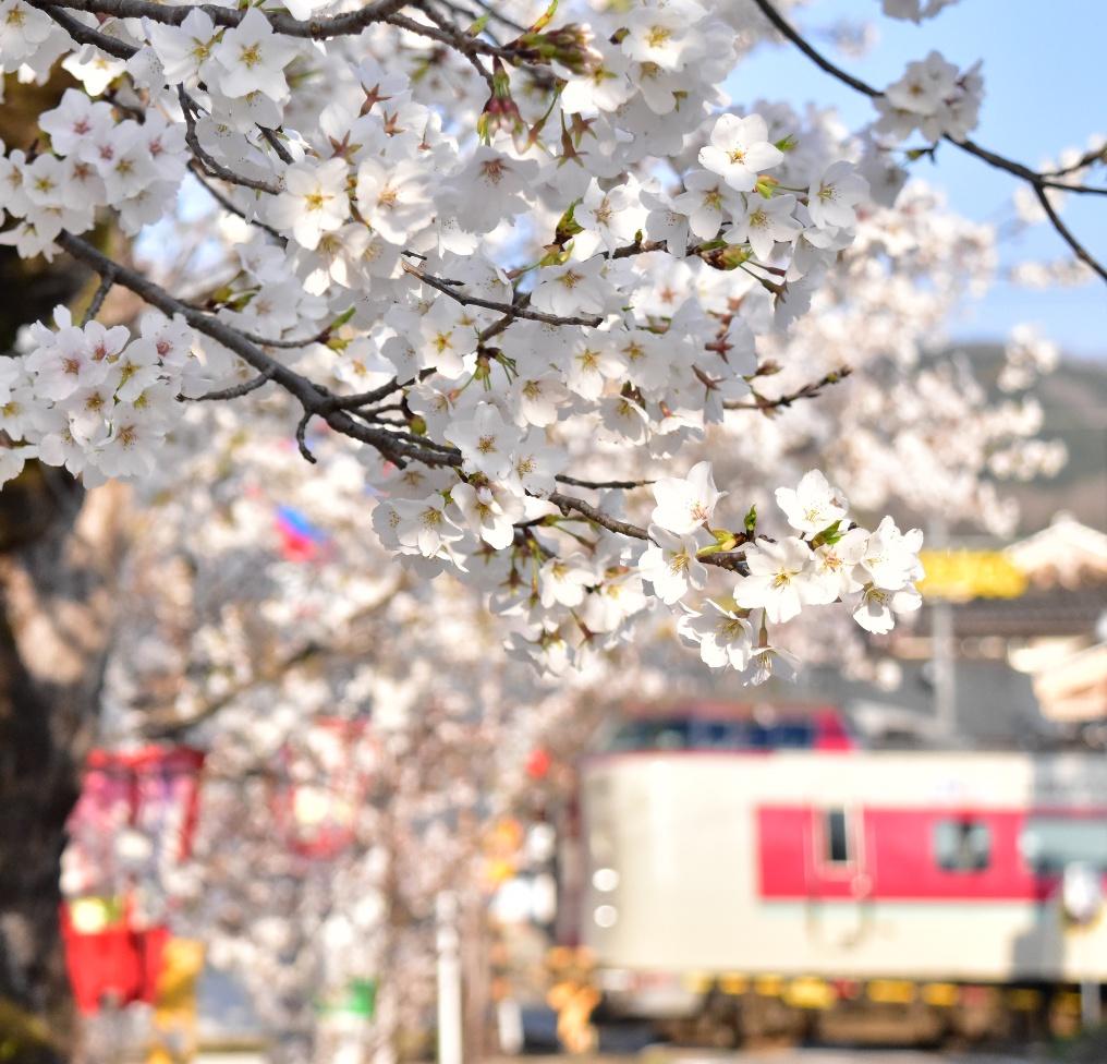 紺屋川の桜とやくも