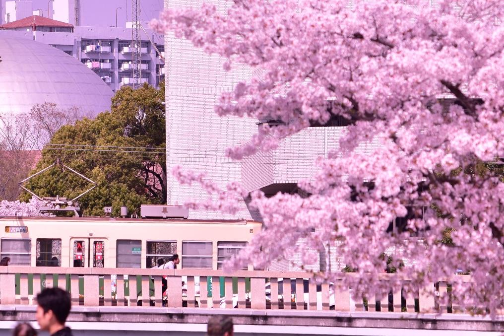 平和公園の桜とひろでん