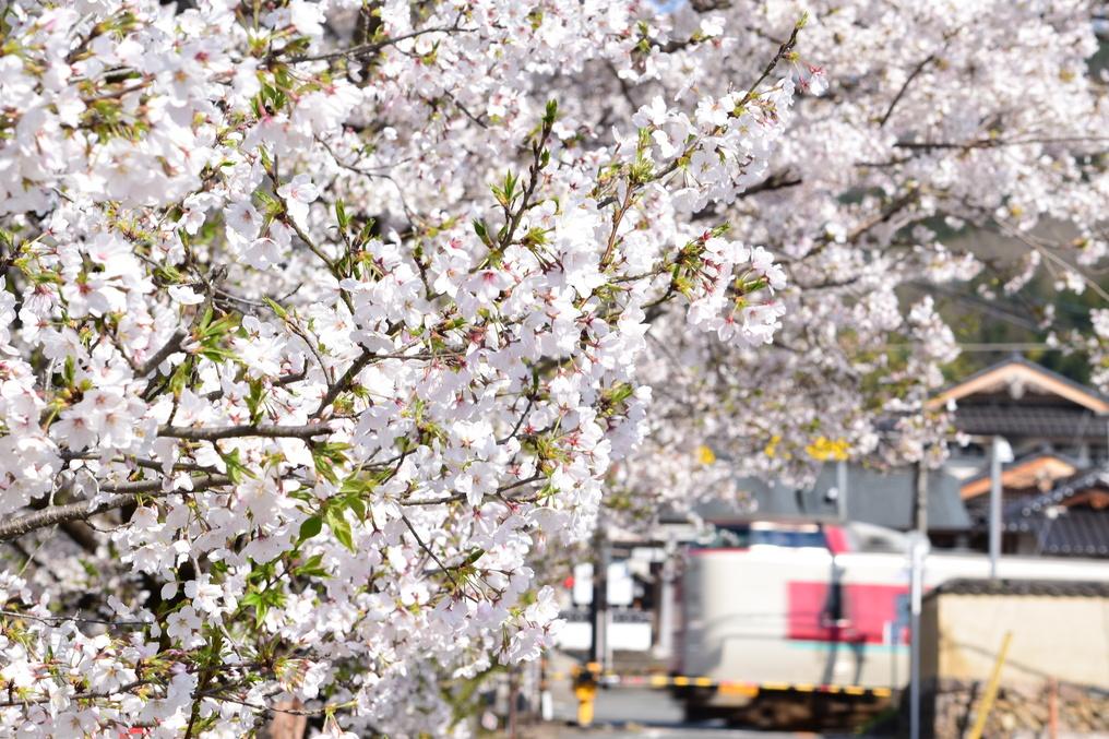 紺屋川筋の桜とやくも