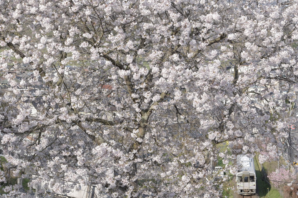 ふわふわの桜と井原鉄道