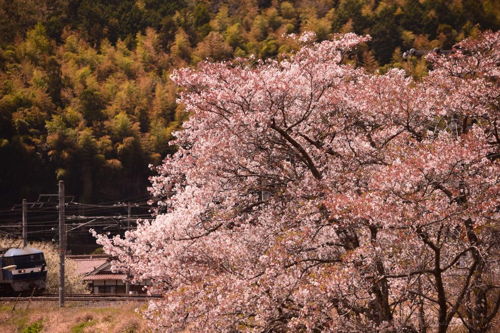桜と貨物列車