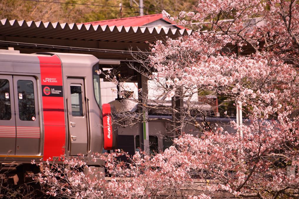 桜と227系